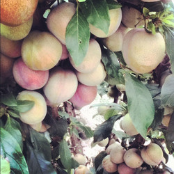 Harvest goodies from the orchard