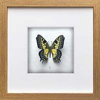 x1_Oak_frame_3D_Swallowtail_£50.jpg