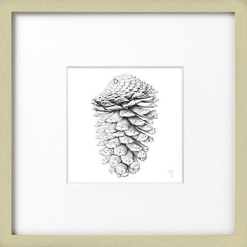 Pine Cone Framed Print