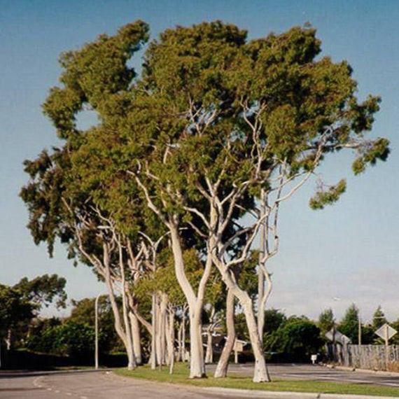 gum tree maleny