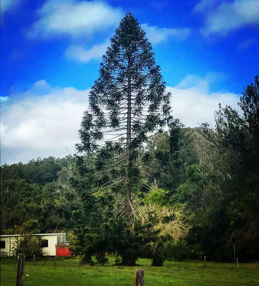 maleny bunya pine tree