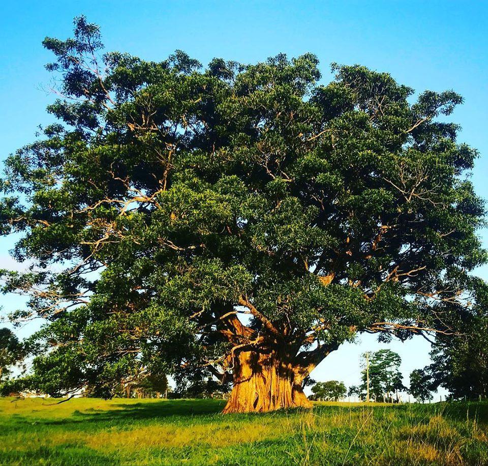 fig tree maleny sunshine coast