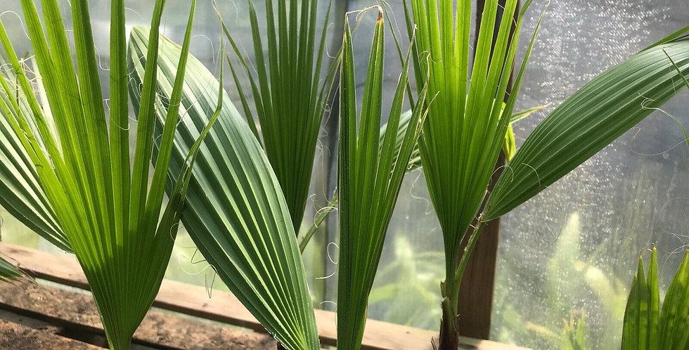 Mexican Fan Palm 2yr Washingtonia Robusta