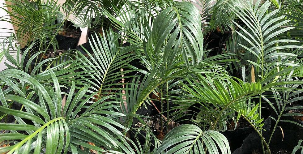 Sago Palm 3yr