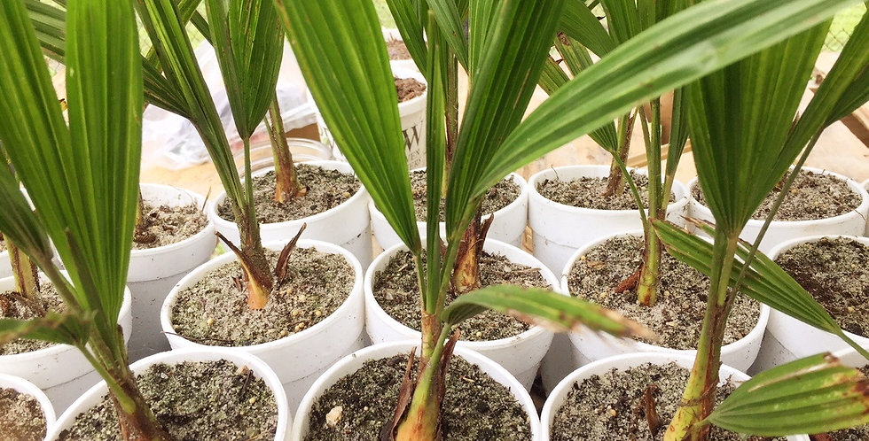 2 Year Old Windmill Palm