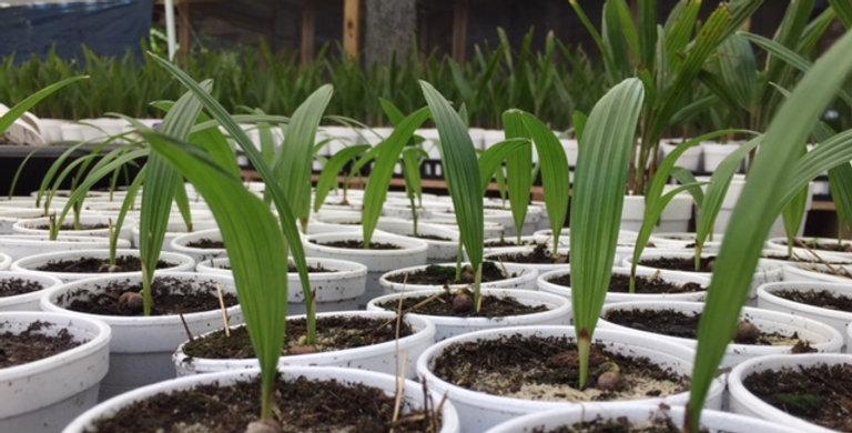Windmill Palm Seedling