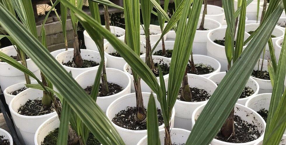 Pindo Palm 1yr