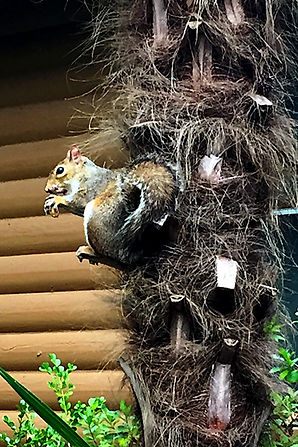 Squirrel on a palm tree