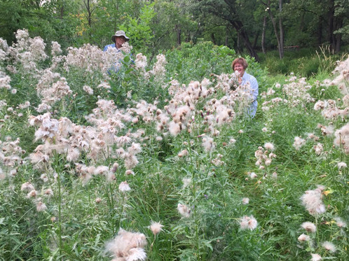 Dense patch of tall thistles