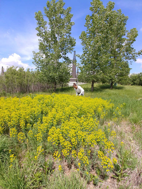 A patch of invasive leafy spurge, declared as a noxious weed in Manitoba.