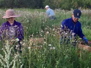 Volunteers helping to remove thistle seed to prevent further spreading