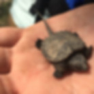 2019-06-03 Baby Snapping Turtle (Emily T
