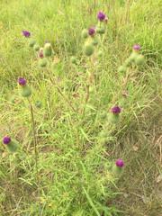 A burdock plant
