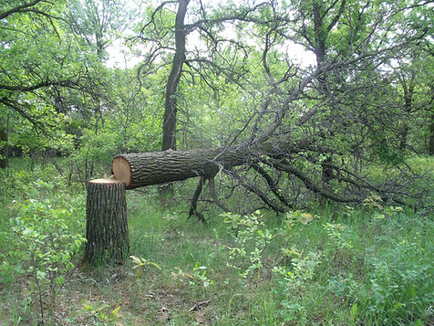 An example of an illegally cut tree in a forested area.