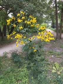 A 6-foot tall yellow coneflower at the Triangle