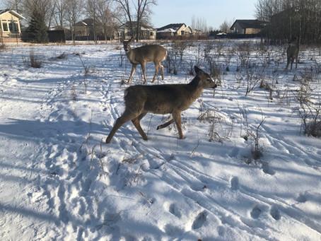 Feeding Deer Does More Harm Than Good