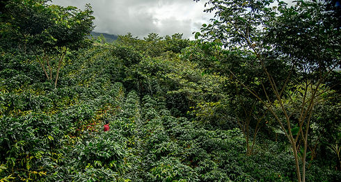 Coffee field webrez.jpg