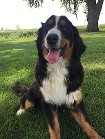 Skye Bernese Mountain Dog.JPG