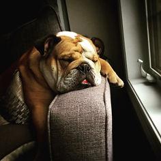 Bulldog sleeping on couch armrest