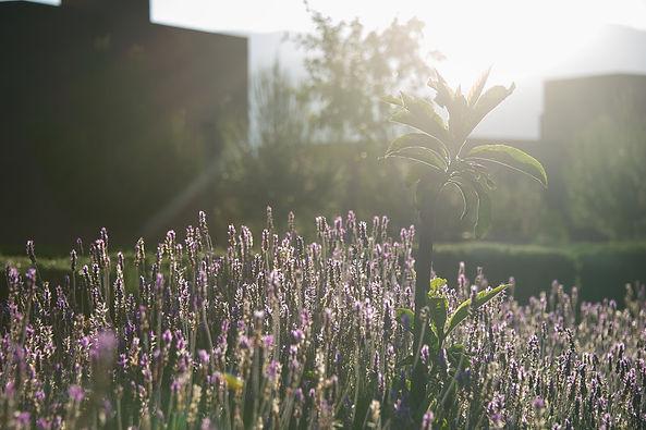 lamandier_lavender_gardens
