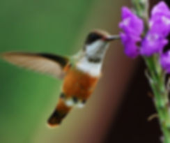 P2_Hummingbird Pollinating Ashram Flower
