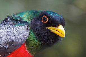 Trogon head.jpeg