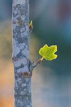 Spring Leaf.jpg
