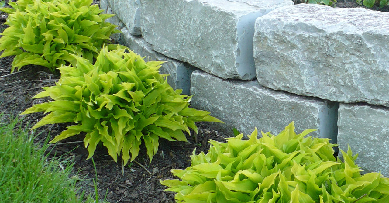 lime green hostas and stone