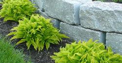 lime green hostas and stone
