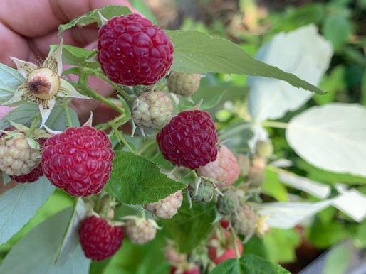 Easy Tips for Pruning Raspberry Bushes