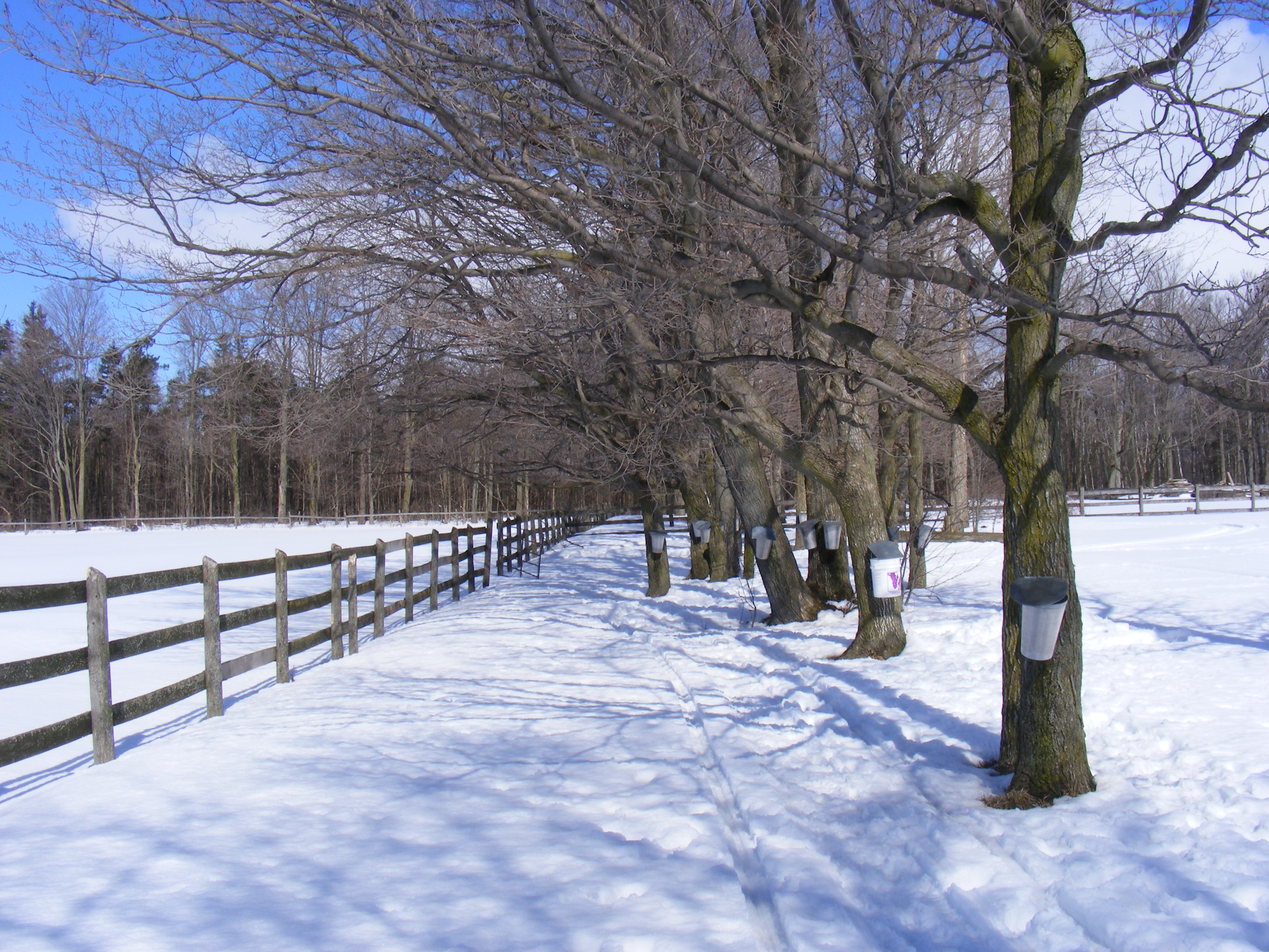 Spring Maple Syrup Run