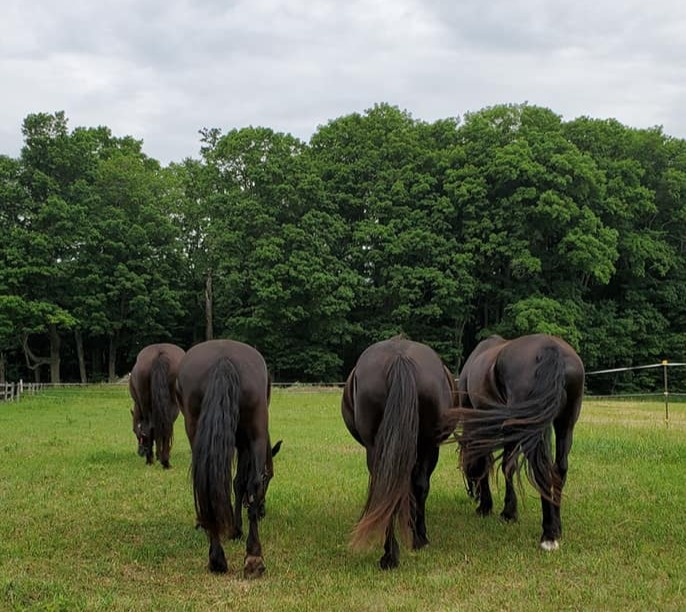 The Canadian Horse Mares