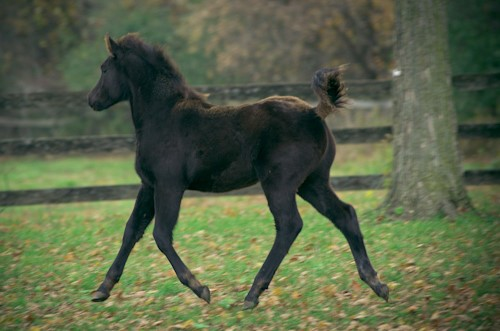 Ganache moving at a trot 2.png