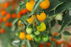 tomates3_michael