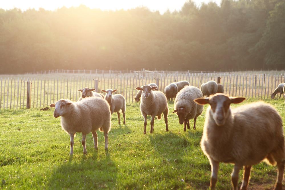 moutons_aout2015