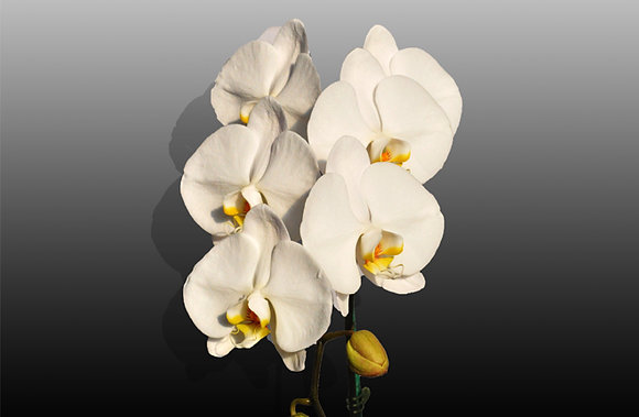 Luxurious White Cut Phalaenopsis