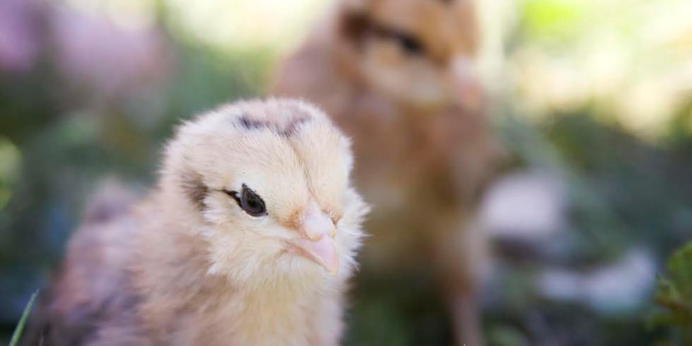 Chick Days in Los Osos at Lemos Feed & Pet