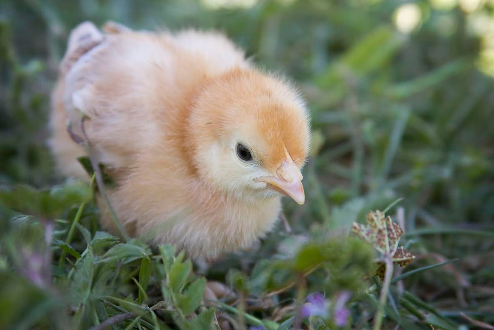 New Hampshire baby chick in a patch of baby weeds