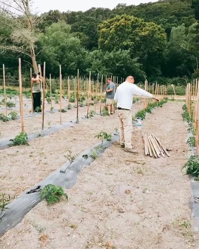 Driving stakes in the garden to trellis tomatoes