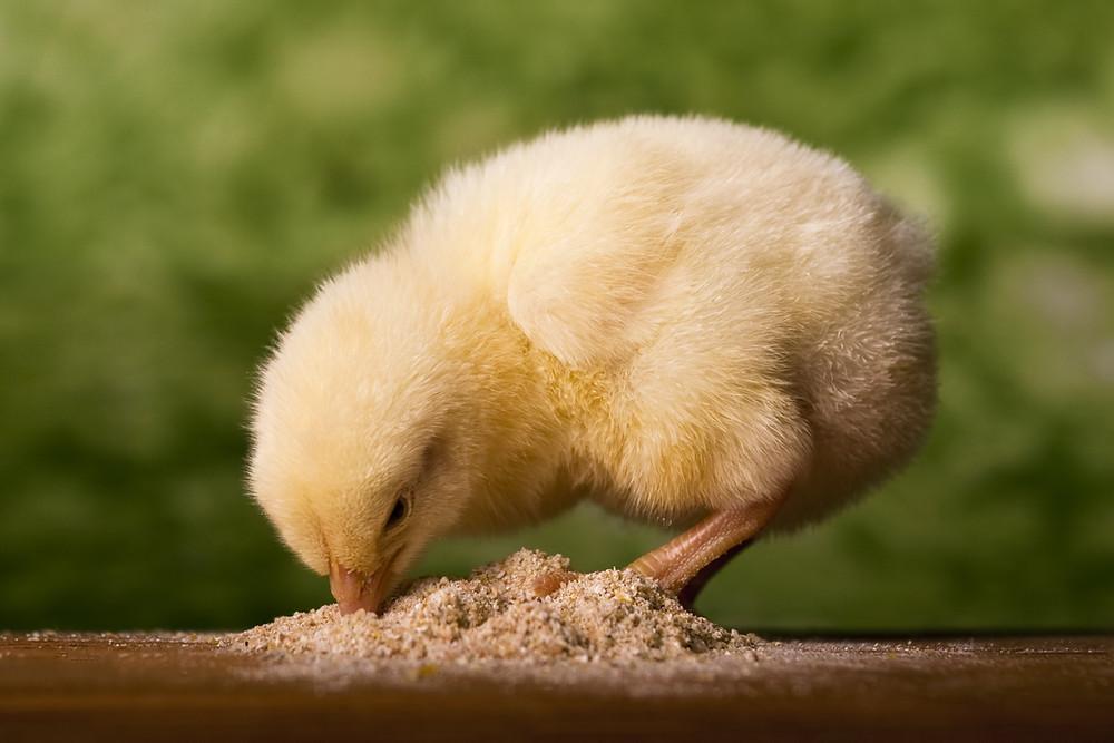 Yellow baby chick eating chick starter mash