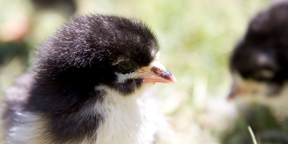 Chick Days in Agoura Hills at Healthy Pet Feed