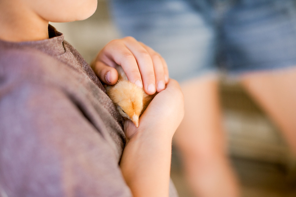 Young boy cradling a Buff Orpington baby chick
