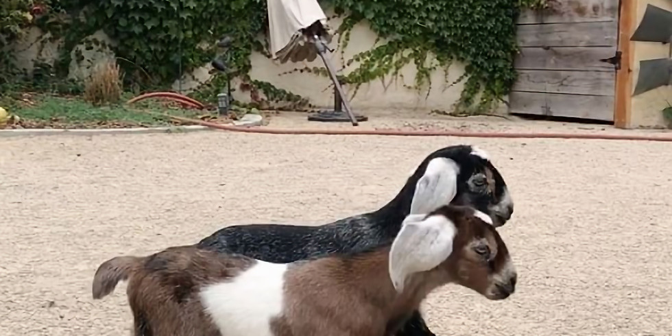 Dairy Goats Class for Beginners