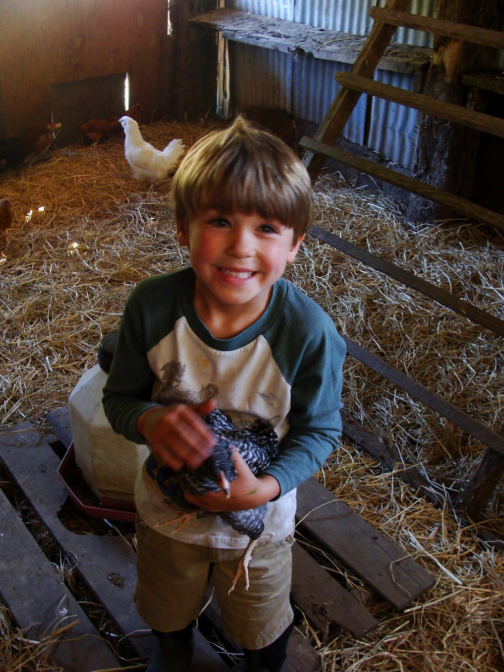 Child holds his new chicken in their coop