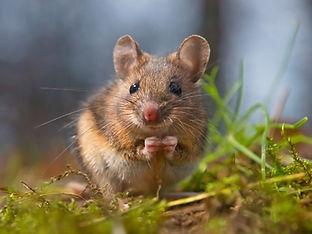 wood-mouse-ears-up-creativenature_nl-ist