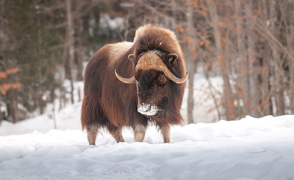 Muskox walking in the snow in winter.jpg
