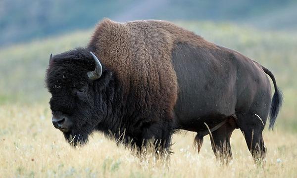 bison_page.jpg