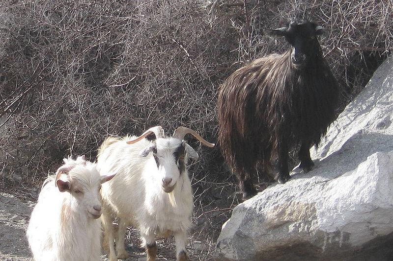 Pashmina Goats in Ladakh, India