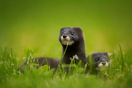 Close up photo of pair of European minks