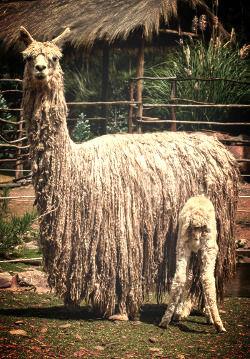 Suri alpaca in Peru